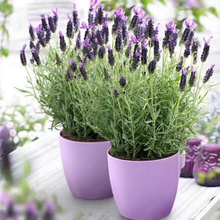 lavendelplant voordelen