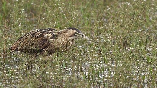 roerdomp vogels kijken in de zevenhuizerplas a