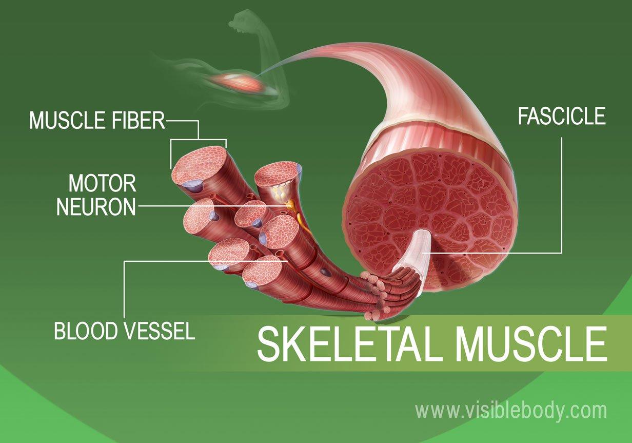 Human Skeletal Tissue Muscle