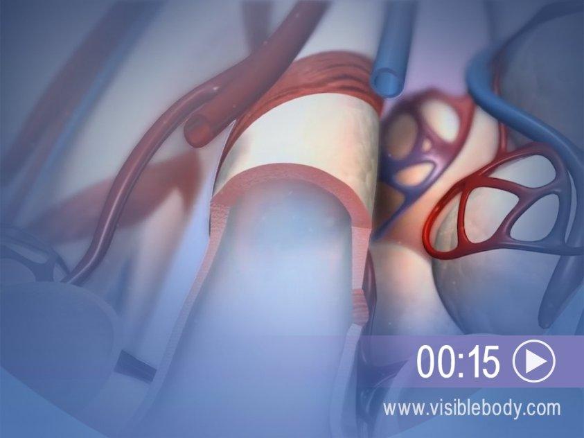 Lower Respiratory System | Respiratory Anatomy