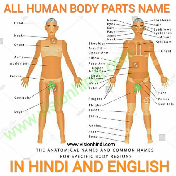 À¤¶à¤° À¤° À¤• À¤¸à¤­ 100 À¤… À¤— À¤• À¤¨ À¤® Human Body Parts Name In Hindi And English