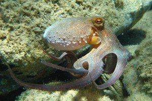 800px-Octopus_vulgaris2