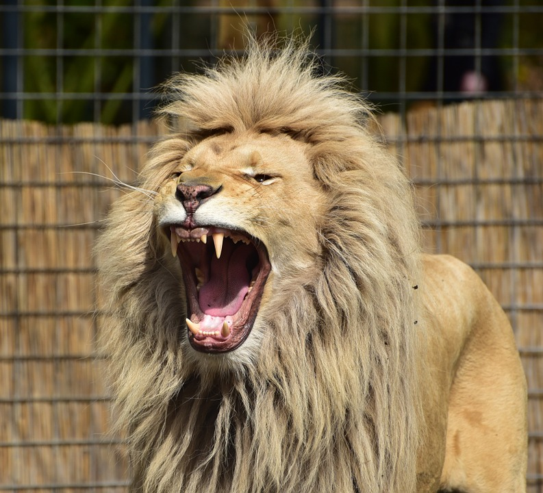 Roaring lion with open mouth