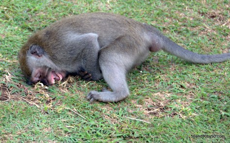 Monkey (macaque) laughing, Bali, Indonesia (Ulu Watu)