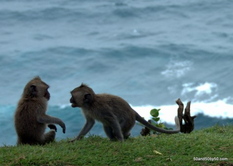 Monkeys (macaques) at the cliffs Ulu Watu, Bali, Indonesia