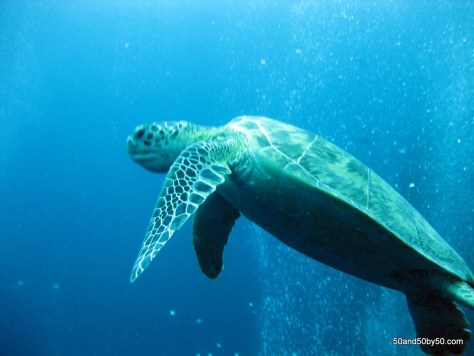 Sea Turtle, from scuba diving in Sipadan, Semporna Archipelago, Borneo, in Malaysia