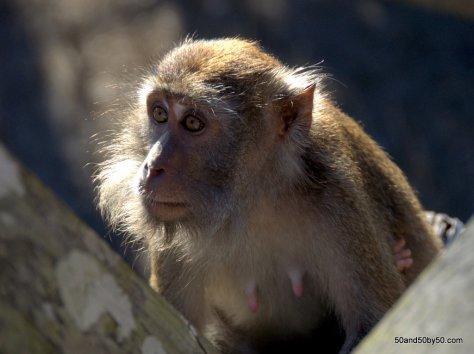 monkey in Bako Borneo