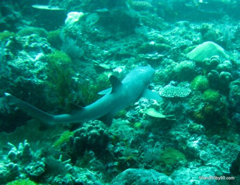 Whitetip Reef Shark - named for the tip of the fin