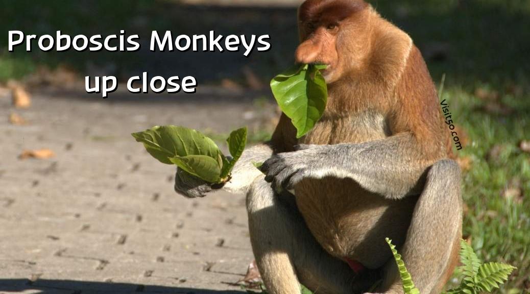 Proboscis Monkey on Visit50