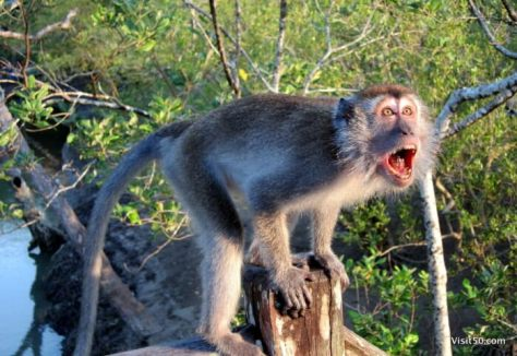Macaque monkey in Asia - this is in Malaysian Borneo on Bako Island