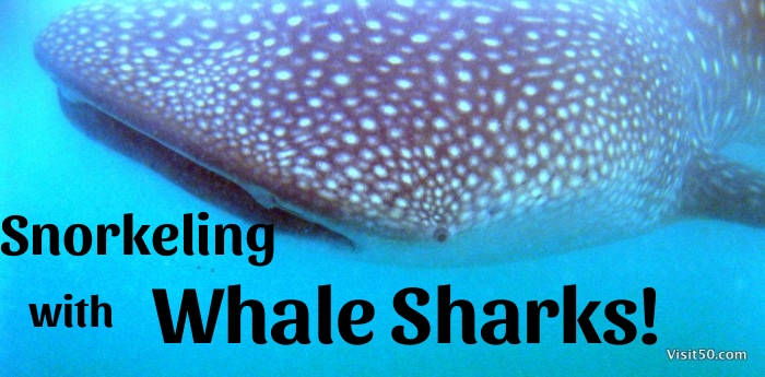 Snorkeling with Whale Sharks! Swimming with whale sharks is amazing