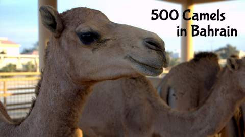 See the 500 Camels of Bahrain and my surprise stop