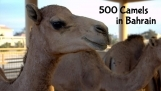 Royal Camel Farm Bahrain