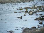 pinzón en rio grande