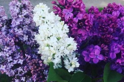 Lilac Festival & Street Fair May 11, 2019