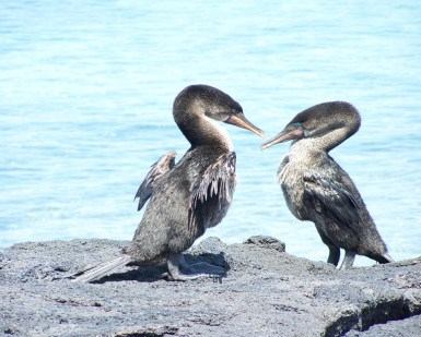 Non flying cormorants Galapagos Islands - Ecuador © Carmen Cristina Carpio Tobar