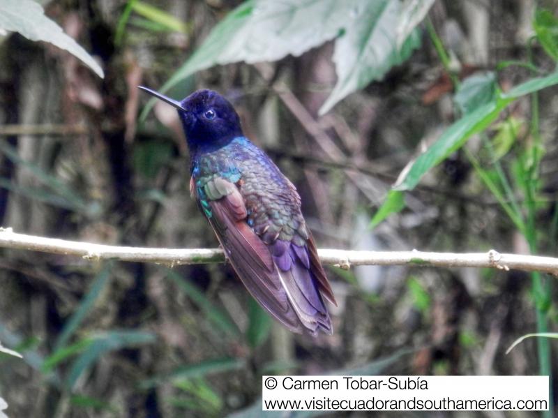 Mindo birdwatching www.visitecuadorandsouthamerica.com