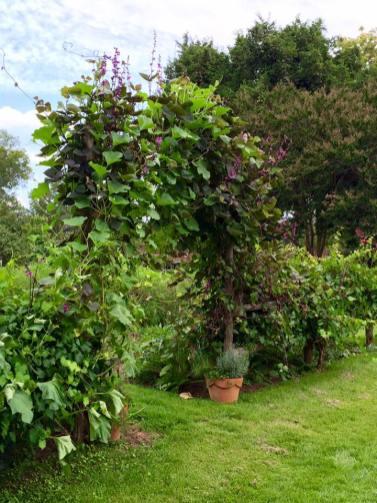 muscadine grape arch