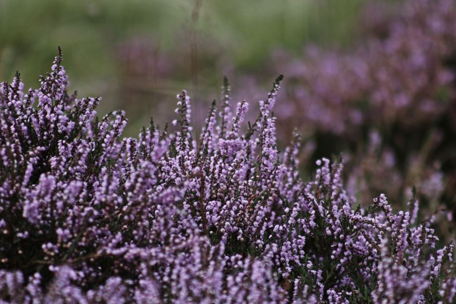heather- moorlands - things to do autumn netherlands