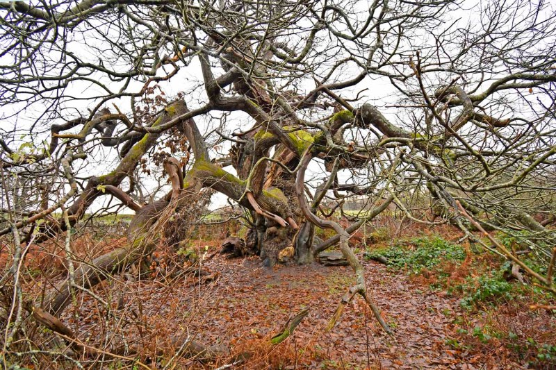 Ancient Tree in Woodland at Chirk Castle North Wales
