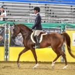 Current Arabian Horse For Sale In Georgia And South Carolina