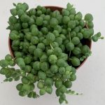 String Of Pearls Succulent Shop Outdoor Succulents Online