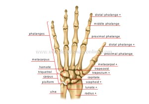 HUMAN BEING :: ANATOMY :: SKELETON :: HAND image  Visual