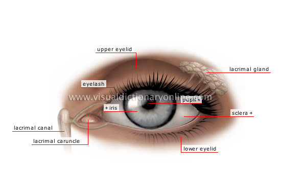 eye - Visual Dictionary Online