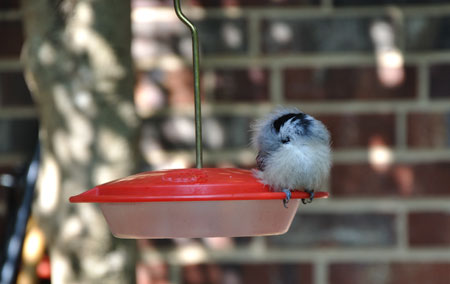 Chickadee napping on hummingbird feeder