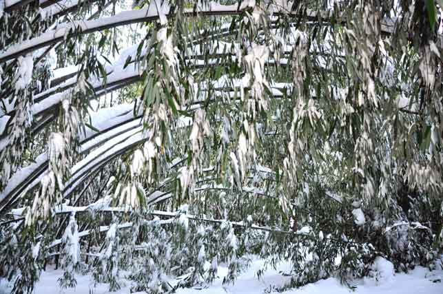 Bamboo in Snow
