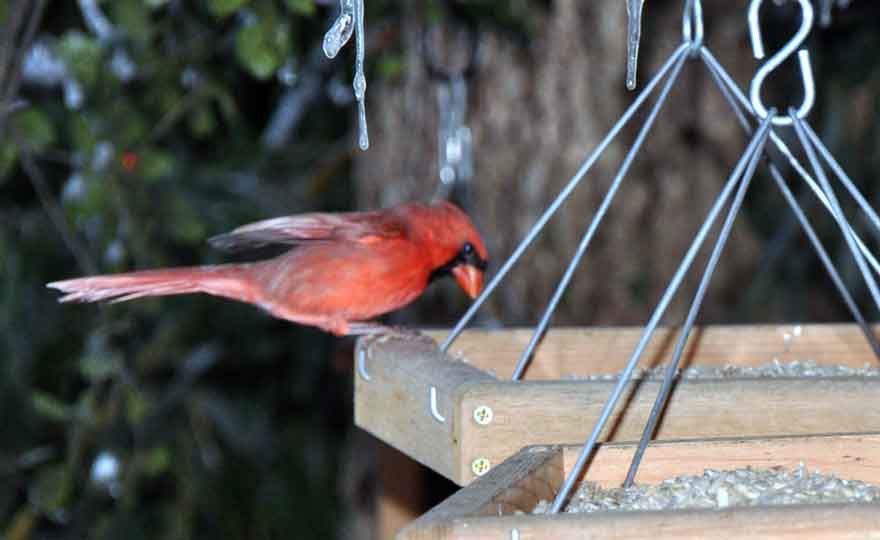 Cardinal Eating Seed