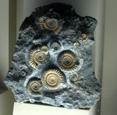 ammonites, D.C.