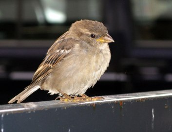 sparrow, Norway