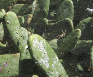 Cochineal on cacti. Wikimedia