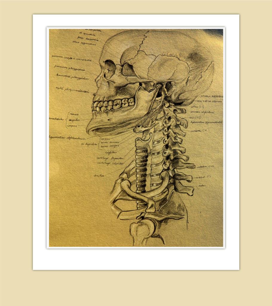 Human anatomy, skull, neck