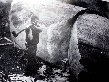 Man cutting a chopped down Kauri