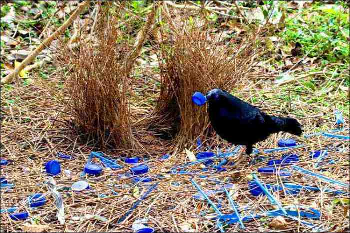 Bower bird hut