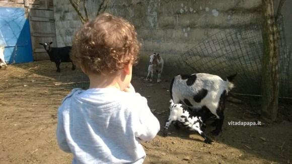 gnappo e capre allattate