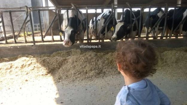 gnappo e mucche