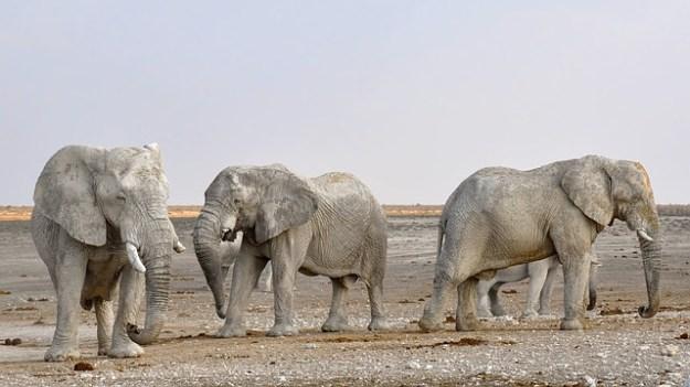 canzone elefanti