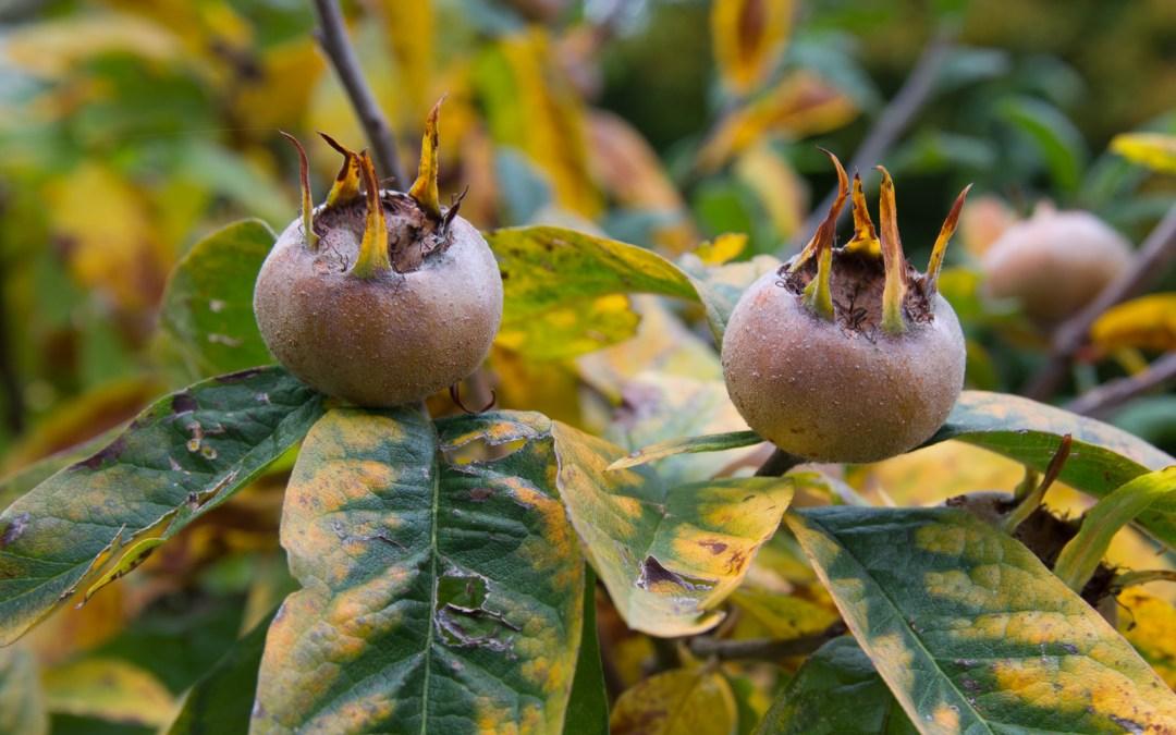 Apfelfrucht einer Mispel (Mespilus gemanica), Baumfrüchte