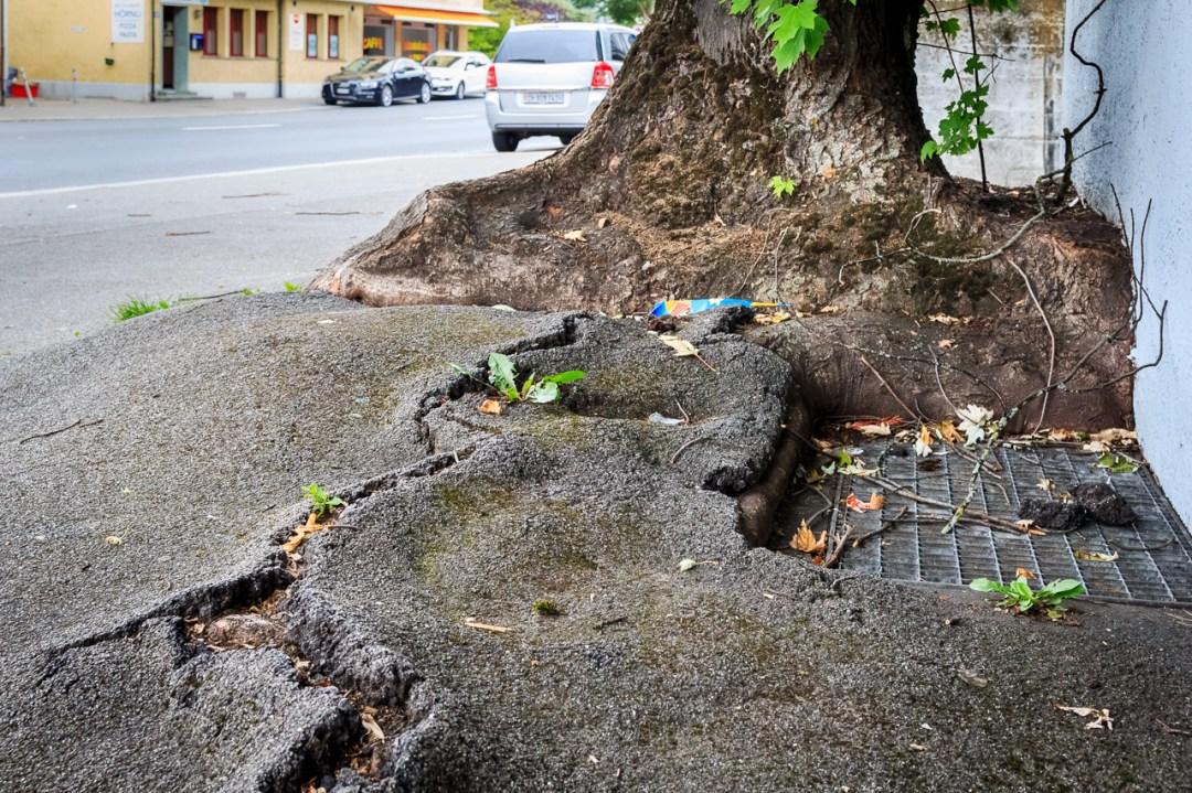 Baumschutz auf Baustellen, Baumbeurteilung: Belagsschäden durch Ahornwurzel