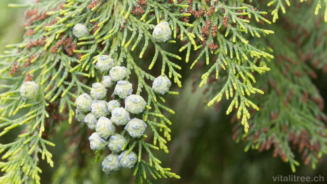 Scheinzypresse (Chamaecyparis lawsoniana), Zapfen