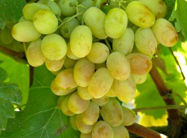 razaki grozde