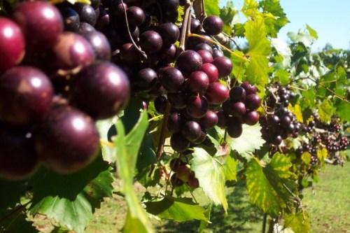 muscadine grape dalam vivix dan youth shaklee