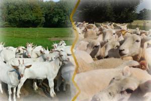 brebis chèvres