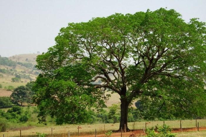 Pesquisa realizada na UFCG em Sumé estuda a presença do angico em mata ciliar no Cariri