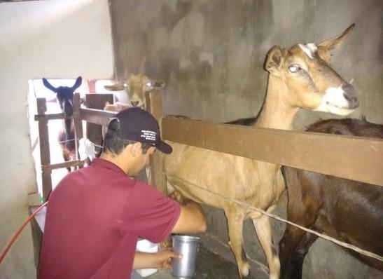 Paraíba é o maior produtor de leite de cabra do país, aponta IBGE