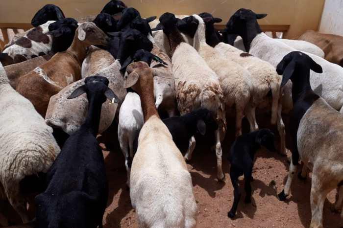 Procase realiza entrega de animais a produtores do Cariri Paraibano