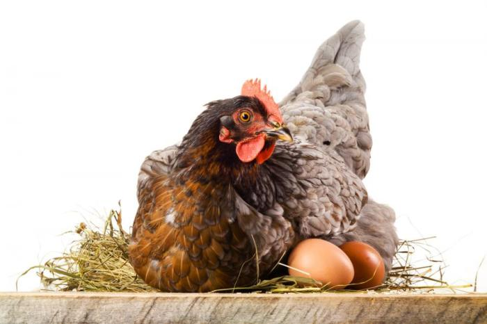 Prefeitura de Monteiro cria projeto que vai alavancar a produção e venda de ovos caipiras